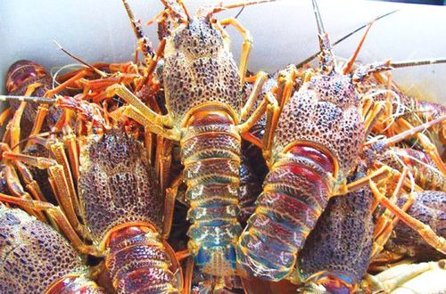 Lobster fishing season to end in April; 2017 recorded 8% growth