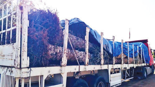Truck carrying date palm trees seized in Suwaiq