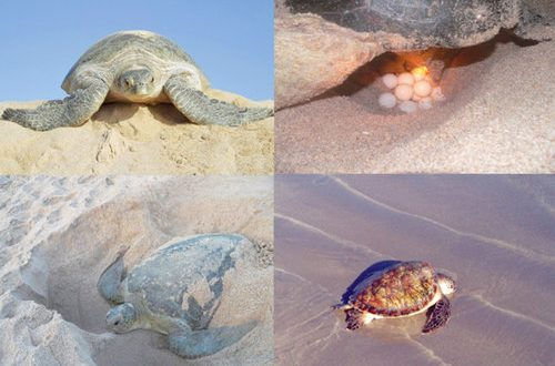 Sultanate marks World Turtle Day