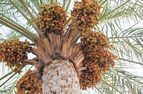Oman Dates Development Company set to be incorporated today