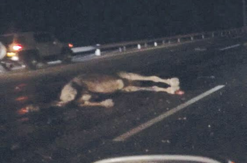 'Stray camels, lack of light major cause of accidents on Batinah Expressway'