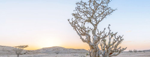 On a trail to promote the frankincense tree