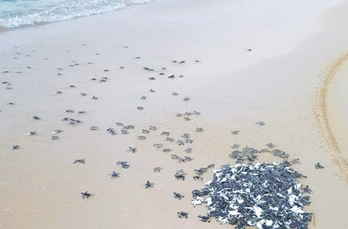 MECA inks pact for protection wall to guide baby turtles to sea