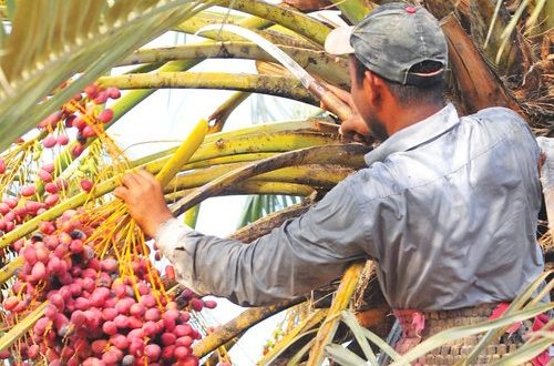 259,000 acres cultivated for different crops in 2018: NCSI