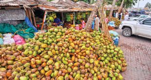 Coconuts: A boon for Dhofar governorate