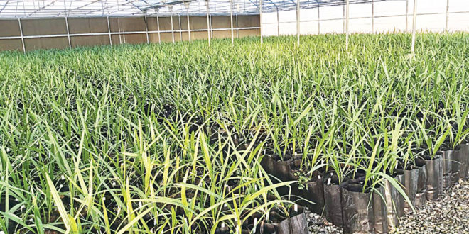 75,000 quality date seedlings produced in 2019, says MoAF